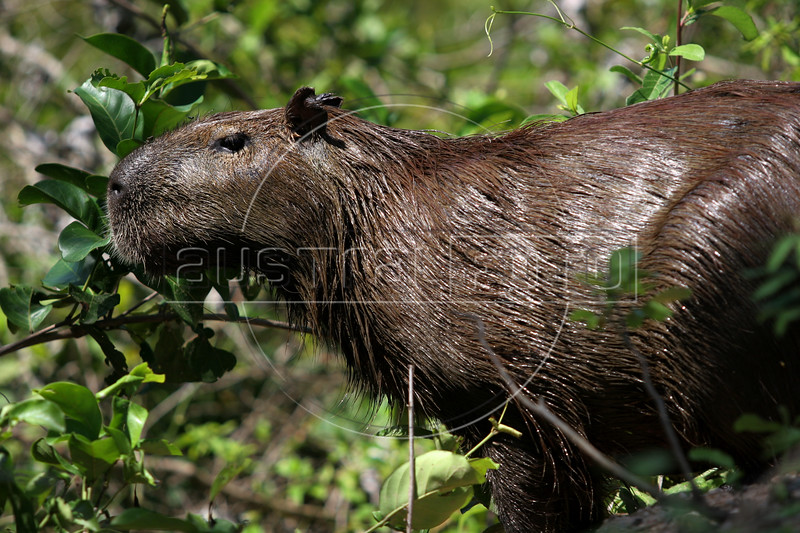 A Capybara (Hydrochaeris hydrochaeris), the world's largest rodent, in the Pantanal region of Brazil's western Mato Grosso do Sul state, April 11, 2006.  The Pantanal, a 140,000 sq. km (50,000 sq. mi) seasonally flooded ecosystem which straddles the borders of Brazil, Paraguay and Bolivia, is the world's largest wetland. It is about the size of Florida, and about 24 times the size of the Everglades wetland of Florida. It is home to a known 3,500 species of plants, as well as over 650 birds, and 400 species of fish. It is a Brazilian National Heritage site, a significant site of international relevance according to the RAMSAR Wetlands Areas Convention, and a UNESCO Biosphere Reserve.(Australfoto/Douglas Engle)