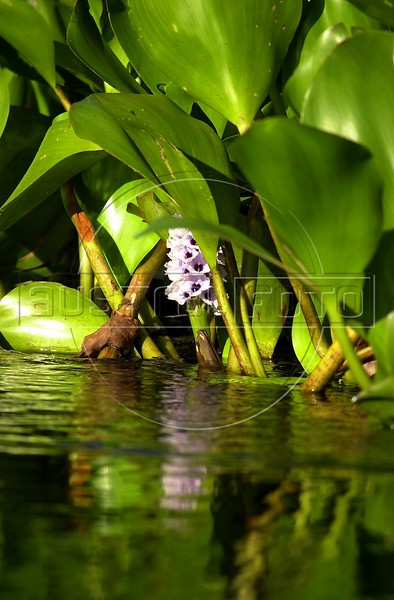 A water hyacinth in the Pantanal of Mato Grosso do sul state. (Douglas Engle/Australfoto)