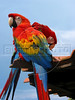 A Scarlet Macaw in captivity in the Brazilian state of Maranhao.  (Douglas Engle/Australfoto)