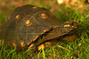 A yellow-footed tortoise (Geochelone denticulata) of the Pantanal of Mato Grosso do sul state.(Douglas Engle/Australfoto)