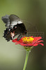 A butterfly feeds on a flower in the northeastern Brazilian state of Pernambuco.(Douglas Engle/Australfoto)