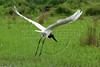 A Jabiru stork (Jabiru Mycteria), symbol of the Pantanal, takes flight in the Pantanal region of Brazil's western Mato Grosso do Sul state, April 11, 2006. The Pantanal, a 140,000 sq. km (50,000 sq. mi) seasonally flooded ecosystem which straddles the borders of Brazil, Paraguay and Bolivia, is the world's largest wetland. It is about the size of Florida, and about 24 times the size of the Everglades wetland of Florida. It is home to a known 3,500 species of plants, as well as over 650 birds, and 400 species of fish. It is a Brazilian National Heritage site, a significant site of international relevance according to the RAMSAR Wetlands Areas Convention, and a UNESCO Biosphere Reserve.(Australfoto/Douglas Engle)