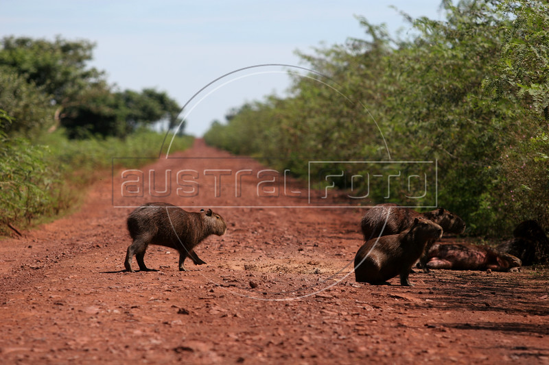 A group of Capybaras (Hydrochaeris hydrochaeris), the world's largest rodent, cross the Pantanal Parkway in the Pantanal region of Brazil's western Mato Grosso do Sul state, April 11, 2006.  The Pantanal, a 140,000 sq. km (50,000 sq. mi) seasonally flooded ecosystem which straddles the borders of Brazil, Paraguay and Bolivia, is the world's largest wetland. It is about the size of Florida, and about 24 times the size of the Everglades wetland of Florida. It is home to a known 3,500 species of plants, as well as over 650 birds, and 400 species of fish. It is a Brazilian National Heritage site, a significant site of international relevance according to the RAMSAR Wetlands Areas Convention, and a UNESCO Biosphere Reserve.(Australfoto/Douglas Engle)