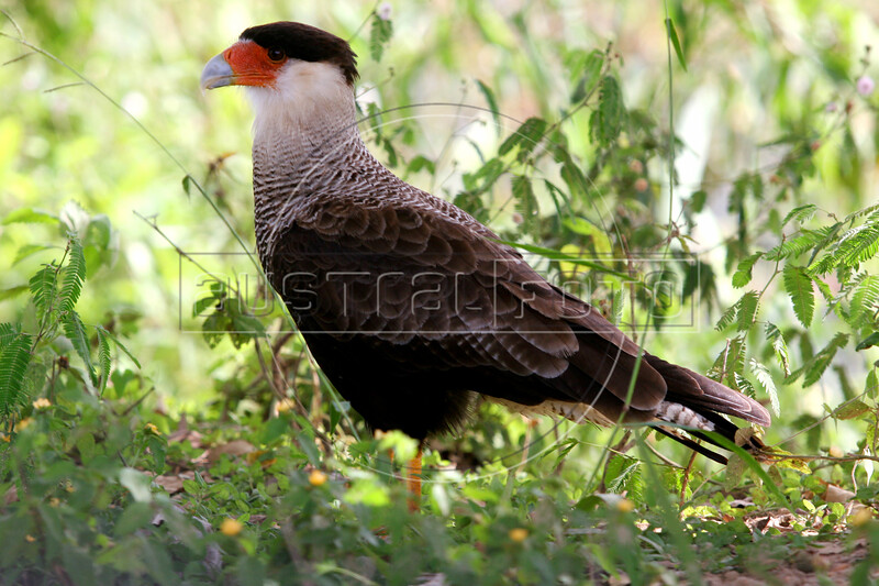 A crested Carcara ( Polyborus Pancus) in the Pantanal region of Brazil's western Mato Grosso do Sul state, April 11, 2006. The bird can kill cattle by gouging their eyes out. The Pantanal, a 140,000 sq. km (50,000 sq. mi) seasonally flooded ecosystem which straddles the borders of Brazil, Paraguay and Bolivia, is the world's largest wetland. It is about the size of Florida, and about 24 times the size of the Everglades wetland of Florida. It is home to a known 3,500 species of plants, as well as over 650 birds, and 400 species of fish. It is a Brazilian National Heritage site, a significant site of international relevance according to the RAMSAR Wetlands Areas Convention, and a UNESCO Biosphere Reserve.(Australfoto/Douglas Engle)(Australfoto/Douglas Engle)