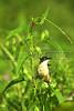 A Black-capped Mocking Thrush (Donacobius atricapillus) in the Pantanal of Mato Grosso do sul state. (Douglas Engle/Australfoto)