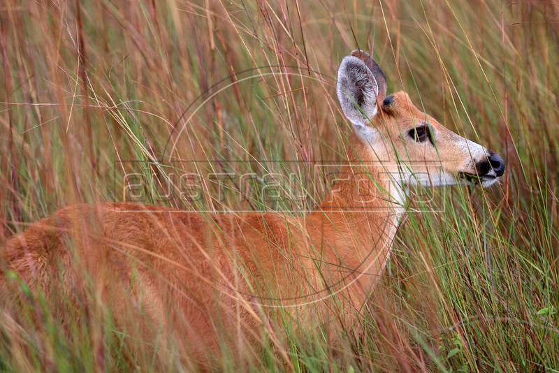 A Marsh Deer (Blastocerus dichotomus) in the Pantanal region of Brazil's western Mato Grosso do Sul state, April 11, 2006.  The Pantanal, a 140,000 sq. km (50,000 sq. mi) seasonally flooded ecosystem which straddles the borders of Brazil, Paraguay and Bolivia, is the world's largest wetland. It is about the size of Florida, and about 24 times the size of the Everglades wetland of Florida. It is home to a known 3,500 species of plants, as well as over 650 birds, and 400 species of fish. It is a Brazilian National Heritage site, a significant site of international relevance according to the RAMSAR Wetlands Areas Convention, and a UNESCO Biosphere Reserve.(Australfoto/Douglas Engle)