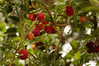 Acerola fruits on a tree in the northeastern Brazilian state of pernambuco. Acerola is said to be extremely rich in vitamin C.(Douglas Engle/Australfoto)