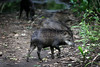 White-lipped peccary (Tayassu pecari) in the Pantanal region of Brazil's western Mato Grosso do Sul state, April 11, 2006.  The Pantanal, a 140,000 sq. km (50,000 sq. mi) seasonally flooded ecosystem which straddles the borders of Brazil, Paraguay and Bolivia, is the world's largest wetland. It is about the size of Florida, and about 24 times the size of the Everglades wetland of Florida. It is home to a known 3,500 species of plants, as well as over 650 birds, and 400 species of fish. It is a Brazilian National Heritage site, a significant site of international relevance according to the RAMSAR Wetlands Areas Convention, and a UNESCO Biosphere Reserve.(Australfoto/Douglas Engle)
