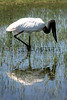 A Jabiru stork (Jabiru Mycteria), symbol of the Pantanal, fishes in the Pantanal region of Brazil's western Mato Grosso do Sul state, April 11, 2006. The Pantanal, a 140,000 sq. km (50,000 sq. mi) seasonally flooded ecosystem which straddles the borders of Brazil, Paraguay and Bolivia, is the world's largest wetland. It is about the size of Florida, and about 24 times the size of the Everglades wetland of Florida. It is home to a known 3,500 species of plants, as well as over 650 birds, and 400 species of fish. It is a Brazilian National Heritage site, a significant site of international relevance according to the RAMSAR Wetlands Areas Convention, and a UNESCO Biosphere Reserve.(Australfoto/Douglas Engle)