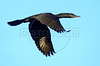 A cormorant (Phalacrocorax olivaceus) flies in the Pantanal of Mato Grosso do sul state. (Douglas Engle/Australfoto)