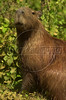A capibara in the Pantanal of Mato Grosso do sul state.(Douglas Engle/Australfoto)