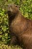 A capibara in the Pantanal of Mato Grosso do sul state.(Douglas Engle/Australfoto)