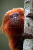 "An endangered golden lion tamarin sits on a branch at the tamarin golden lion reserve about 100 miles east of Rio de Janeiro, Brazil, in this photo taken August 14, 2008. A recent report shows that 48% of the world's primates face extinction, but the golden lion is an exception. The species, endemic to Southeastern of Brazil was recently ""upgraded"" from ""endangered"" to ""threatened"" demonstrating the remarkable success of efforts to save the tiny primate from extinction, which has become a model for other species around the world. The animal was almost wiped out due to destruction of its localized habitat - only in the state of Rio de Janeiro - and its unique beauty which made it a favorite for animal traffickers. Thanks to the Associacao Mico Leao Dourado, which has spear-headed the conservation efforts since 1983,  with the help of several reknown zoos around the world, the tamarin has made a small, yet important comeback. (Australfoto/Douglas Engle)"