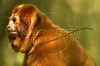 An endangered golden lion tamarin monkey sits on a branch at the tamarin golden lion reserve about 100 miles east of Rio de Janeiro, Brazil, in this photo taken August 15, 2000. The species is endemic of the Southeastern of Brazil. Its distribution is limited the coastal zone in the proximities of Rio de Janeiro, and is threatened seriously due to the destruction of habitat, the Atlantic Rainforest, of which only 7 percent remains. Hoping to save to small primate from extinction a cooperative breeding program with 100 zoological parks was begun.(Douglas Engle/Australfoto)