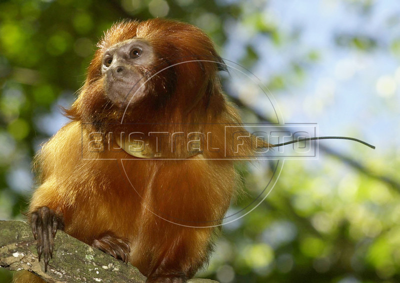 An endangered golden lion tamarin monkey sits on a branch at the tamarin golden lion reserve about 100 miles east of Rio de Janeiro, Brazil, in this photo taken August 15, 2000. The species is endemic of the Southeastern of Brazil. Its distribution is limited the coastal zone in the proximities of Rio de Janeiro, and is threatened seriously due to the destruction of habitat, the Atlantic Rainforest, of which only 7 percent remains. Hoping to save to small primate from extinction a cooperative breeding program with of 100 zoological parks was begun.(Douglas Engle/Australfoto)