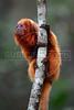 """An endangered golden lion tamarin sits on a branch at the tamarin golden lion reserve about 100 miles east of Rio de Janeiro, Brazil, in this photo taken August 14, 2008. A recent report shows that 48% of the world's primates face extinction, but the golden lion is an exception. The species, endemic to Southeastern of Brazil was recently """"upgraded"""" from """"endangered"""" to """"threatened"""" demonstrating the remarkable success of efforts to save the tiny primate from extinction, which has become a model for other species around the world. The animal was almost wiped out due to destruction of its localized habitat - only in the state of Rio de Janeiro - and its unique beauty which made it a favorite for animal traffickers. Thanks to the Associacao Mico Leao Dourado, which has spear-headed the conservation efforts since 1983,  with the help of several reknown zoos around the world, the tamarin has made a small, yet important comeback. (Australfoto/Douglas Engle)"""