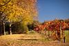 Napa Fall Colors