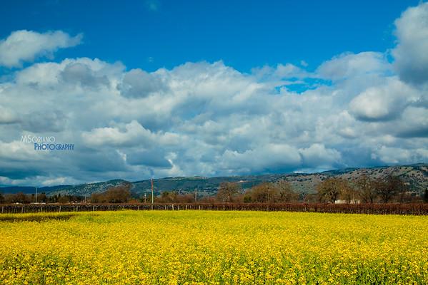 Napa Mustard Field