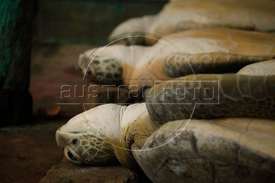 A turtle waiting waiting for death in a house of the city of Puerto Cabezas, Atlantic Coast of Nicaragua. Mizquitos Indians hunted sea turtles that are part of their diet. Organizations that defends animals rights are opposed to this practice considered cruel to a specie that is on danger of extinction. Since they are trapped the turtles can live 15 days without eating food and tied till the moment that they get killed. (Australfoto / Nicolas Garcia)