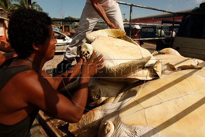 Miskito Indian loading a turtle on a truck at the port of Puerto Cabezas (Atlantic Coast of Nicaragua). Mizquitos Indians hunted sea turtles that are part of their diet. Organizations that defends animals rights are opposed to this practice considered cruel to a specie that is on danger of extinction. Since they are trapped the turtles can live 15 days without eating food and tied till the moment that they get killed. (Australfoto/Nicolas Garcia)