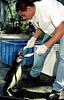 Magellanic penguins rescued off the coast of Rio de Janeiro state receives treatment from Marcello Filgueras, 25, biology student at the Rio de Janeiro Zoo, Rio de Janeiro, Brazil, August 15, 2000. The magellanic penguins get to the Argentinian and Uruguayan coast during their migration from the Patagonia to Brazil in July. While large numbers of penguins arrive on Rio de Janeiro's beaches every year, swept to sea by strong ocean currents from the Strait of Magellan, this year is seeing higher numbers and more dead penguins than usual.(Austral Foto/Renzo Gostoli)<br /> <br /> Marcello Filgueras, 25, estudiante de biologia, alimenta con sardinas a 2 pinguinos, rescatados en las playas de Rio de Janeiro,  en la veterinaria del zoologico de Rio de Janeiro, 15 de agosto de 2000. En este invierno, particularmente frío, fueron encontrados en las playas oceanicas cerca de 150 pinguinos, originarios de la Patagonia, debilitados o heridos, algunos con mordidas de tiburón o golpeados contra las rocas.     (Austral Foto/Renzo Gostoli)