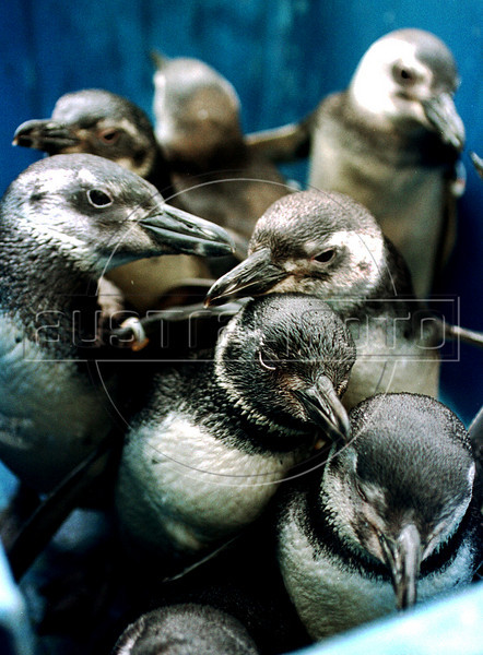 Magellanic penguins rescued off the coast of Rio de Janeiro state receive treatment from a veterinary student at the Rio de Janeiro Zoo, Rio de Janeiro, Brazil, August 15, 2000. The magellanic penguins get to the Argentinian and Uruguayan coast during their migration from the Patagonia to Brazil in July. While large numbers of penguins arrive on Rio de Janeiro's beaches every year, swept to sea by strong ocean currents from the Strait of Magellan, this year is seeing higher numbers and more dead penguins than usual. (Austral Foto/Renzo Gostoli)<br /> <br /> Un grupo de pinguinos, rescatados en las playas de Rio de Janeiro, esperan dentro de un recipiente para ser alimentados o curados en la veterinaria del zoologico de Rio de Janeiro, martes 15 de agosto de 2000. En este invierno, particularmente frío, fueron encontrados en las playas oceanicas cerca de 150 pinguinos debilitados o heridos, algunos con mordidas de tiburón o golpeados contra las rocas.(Austral Foto/Renzo Gostoli)
