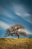 Lone Oak Tree Lime Ridge Open Space