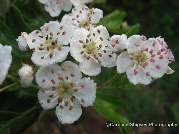Hawthorn Blossom Mendips