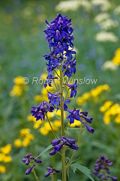 Larkspur, Delphinium barbeyi, San Juan Mountains, Colorado, USA, North America