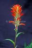 Paintbrush, Indian Paintbrush, Castilleja rhexifolia, Scrophulariaceae (Snapdragon Family), Subalpine, alpine. Meadows. Summer. San Juan Mountains, San Juan National Forest, Colorado, USA, North America