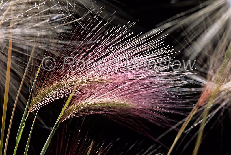 Foxtail Barley, Hordeum jubatum, La Plata County, Colorado, USA, North America, Poaceae (Grass Family)