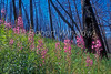 Fireweed, Epilobium angustifolium,  Growing in Area Previously Burned by Fire, Yellowstone National Park, Wyoming, USA, Evening Primrose Family