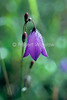 Mountain Harebell with Morning Dew, Campanula rotundifolia, Bellflower Family, Campanulaceae, Glacier National Park, USA, North America