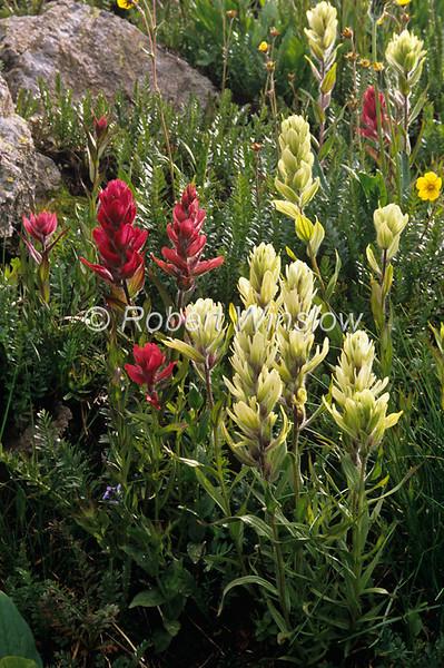 Yellow Paintbrush, Castilleja occidentalis, Indian Paintbrush, Castilleja rhexifolia, San Juan Mountains, Colorado, USA, North America
