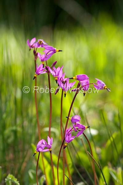 Shooting Star, Dodecatheon pauciflorum, Primrose Family, Moist to wet areas, Upper Geyser Basin, Yellowstone National Park, Wyoming, USA, North America