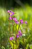 Shooting Star, Dodecatheon pauciflorum, Primrose Family, Moist to wet areas, Upper Geyser Basin, Yellowstone National Park, Wyoming, USA, North America