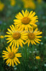 Alpine Sunflower, Rydbergia grandiflora, San Juan Mountains, Colorado, USA, North America, Composite Family