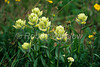 Yellow Paintbrush, Castilleja occidentalis, San Juan Mountains, Colorado, USA, North America