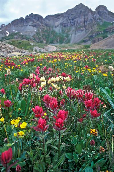 Alpine Wildflowers,Yellow Paintbrush, Castilleja occidentalis, Indian Paintbrush, Castilleja rhexifolia, San Bistort, Bistorta bistortoides, Cinquefoil, Potentilla gracilis variety pulcherrima. , Juan Mountains, San Juan National Forest,  Colorado, USA, North America