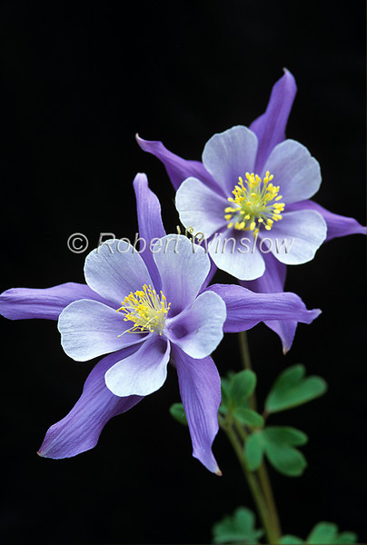 Colorado Blue Columbine, Aquilegia coerulea, San Juan Mountains, Colorado, USA, North America