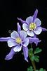 Colorado Blue Columbine, Aquilegia coerulea, San Juan Mountains, Colorado, USA, North America