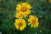 Alpine Sunflower, Rydbergia grandiflora, San Juan Mountains, Colorado, USA, North America, Composite Family