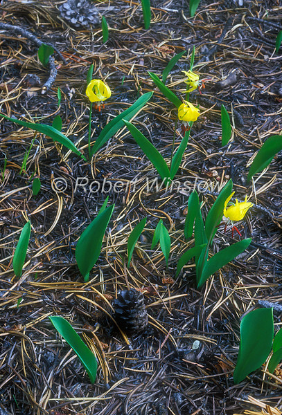 Glacier Lily,  Erythronium grandiflorum, Liliaceae, Lily Family, and Lodgepole Pine Cone in Area Previously Burned by Fire, Yellowstone National Park, Wyoming, USA