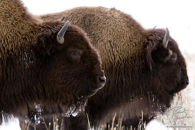 Bison Brothers