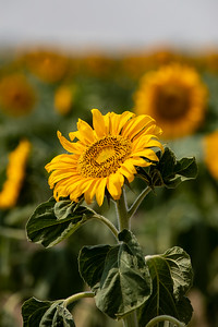 081021_tents_nature_sunflowers-207