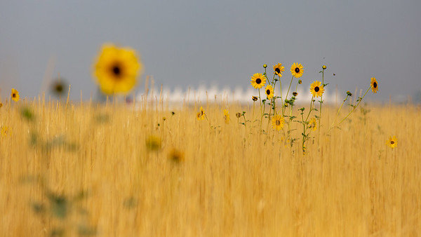 081021_nature_sunflowers-068