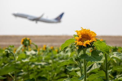 081021_tents_nature_sunflowers-326