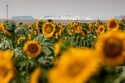 081021_tents_nature_sunflowers-233