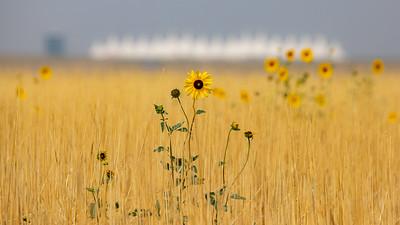 081021_nature_sunflowers-063