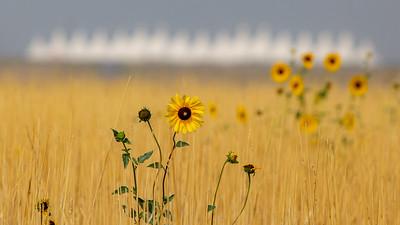 081021_nature_sunflowers-061